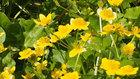 丸池の立金花(リュウキンカ)